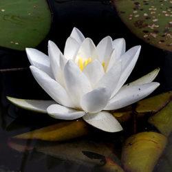 Rastlinstvo4-Beli-lokvanj