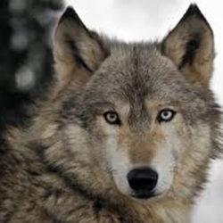 Zivalstvo2-Volk