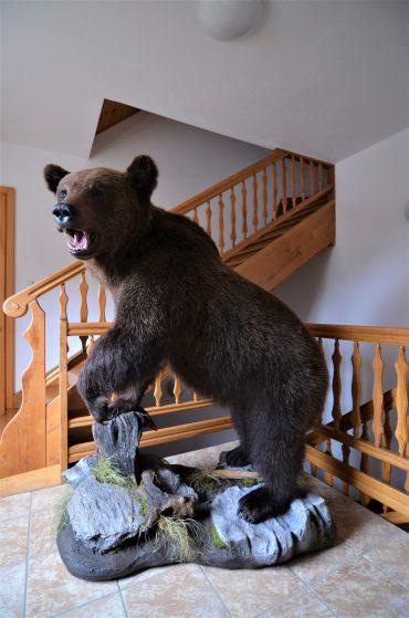 Razstavljen rjavi medved